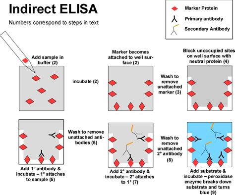 elisa test diagram biotech crunch indirect elisa