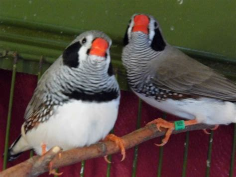 bengalese zebra finches and large cage coventry west