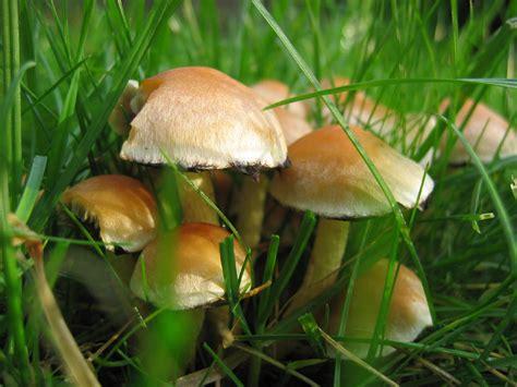 Pilze Im Rasen by Pilze Im Rasen Foto Bild Pflanzen Pilze Flechten