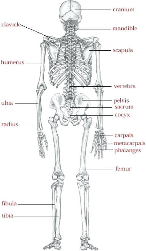 skeleton diagram labeled diagram arm bones diagram labeled