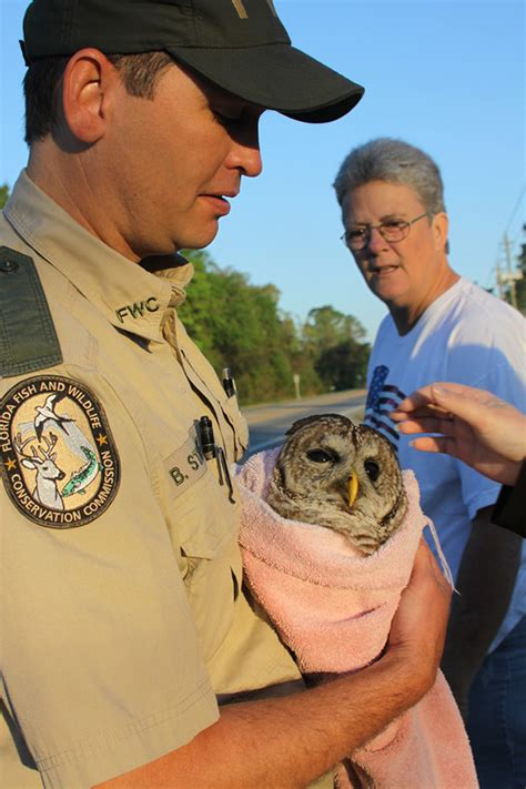 Fwc Officer by Fwc Officer Rescues Severely Injured Barred Owl