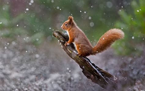 bing pictures as wallpaper squirrel a red squirrel in cairngorms national park scotland