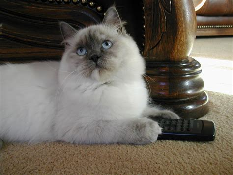 a ragdoll 2 ragdoll cat facts every pet owner must coops