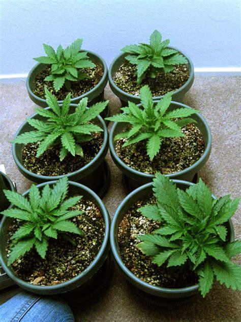 Bild Mit Echten Pflanzen by How To Grow Cannabis With Coco Coir Grow Easy