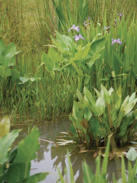 rain garden plants iris versicolor  iris virginica