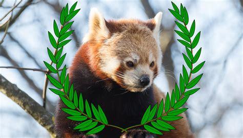 film festival  focus  red pandas red pandazine