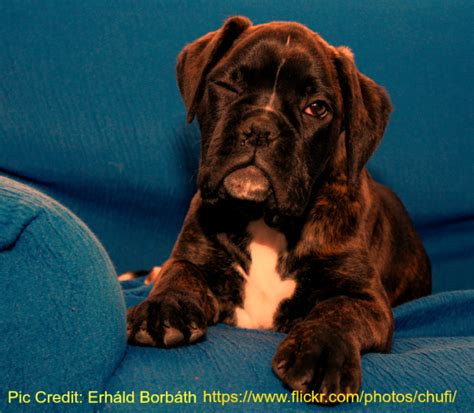 how much is it to get a puppy how much to crop boxer ears boxer info and health tips