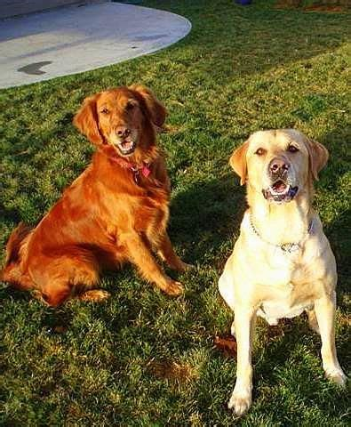 yellow lab golden retriever 65 best images about golden retrievers and yellow labradors on the park