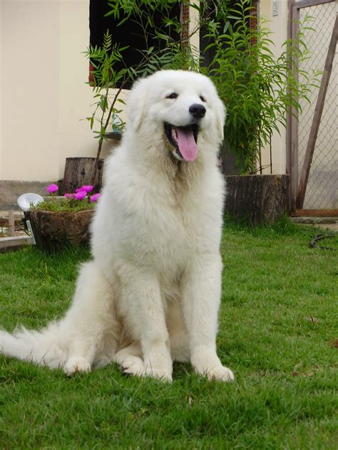 kuvasz puppy friendly kuvasz photo and wallpaper beautiful friendly kuvasz pictures