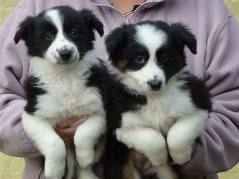 collie puppies for adoption border collie puppies and dogs for sale and adoption design bild