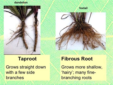 Names Of Modified Roots by Plants2 Plant Parts Roots Stems Specialized Roots