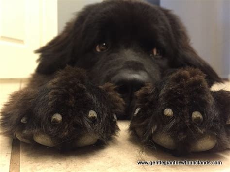 newfoundland puppies for sale in california gentle newfoundlands newfoundlands belleville ks puppies for sale