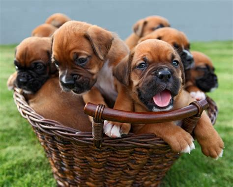 boxer puppies for sale indiana boxer puppies for sale features behavior