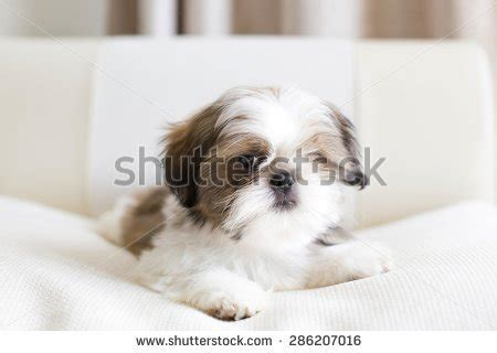 sad shih tzu puppy of breed shih tzu stock photos images pictures