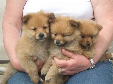 pomeranian puppies for sale colorado pomeranian puppies for sale wigan greater manchester pets4homes