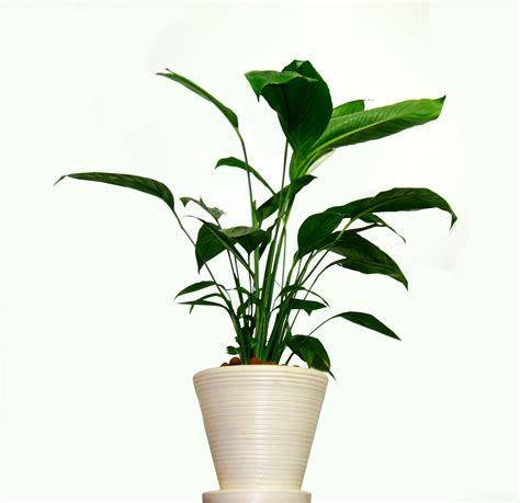 Home Plants by Peace Lily Plant Care Best Method For Beautiful Foliage