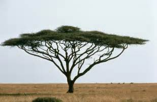 file umbrella thorn acacia or israeli babool tree plant
