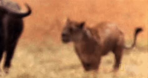 nat geo fight gif by nat geo wild find & share on giphy