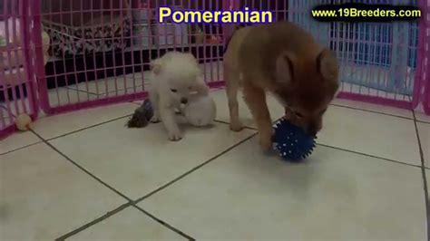 pomeranian puppies for sale in wv pomeranian puppies dogs for sale in huntington county west virginia wv