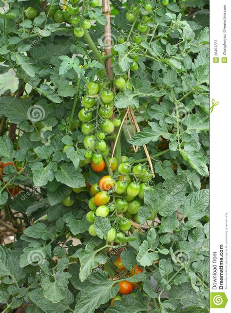 Sweet Tomatoes Gift Card - tomato plant stock photos image 20404553