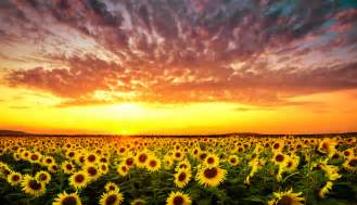 Backyard Sunset What Is The Meaning Of A Sunflower Gardening Tips