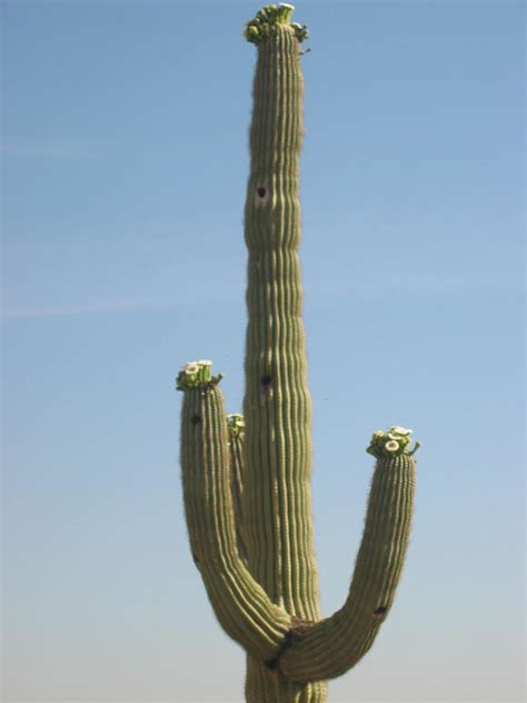 Saguaro Cactus Ls by Pin The Saguaro Cactus Is A Protected Species In Arizona