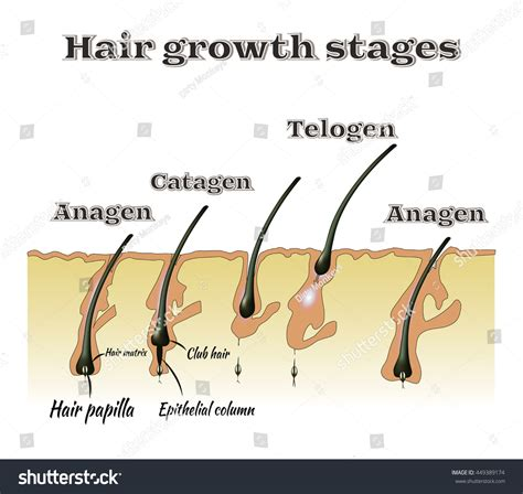growth pattern en francais hair growth stages vector illustration stock vector