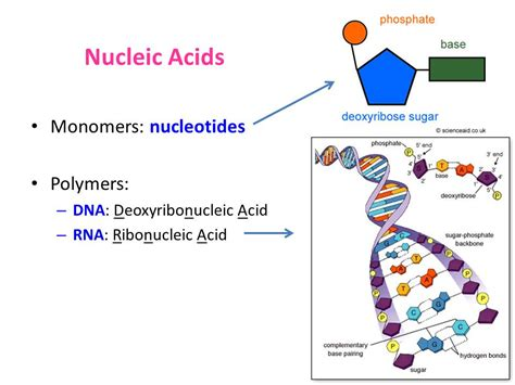 exle of nucleic acid what is the smallest living unit of ppt