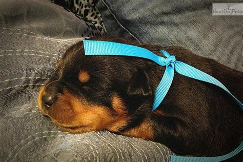 rottweiler puppies for sale in nm rottweiler puppy for sale near las cruces new mexico b0399cd3 0071