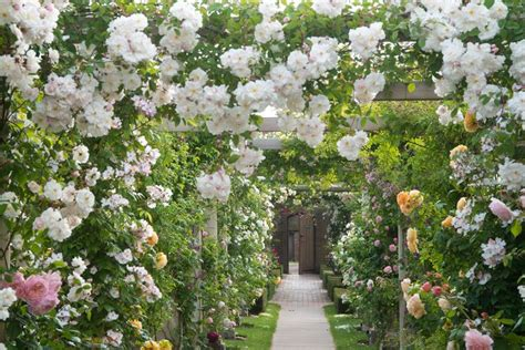 17 best images about david austin rose garden and plant
