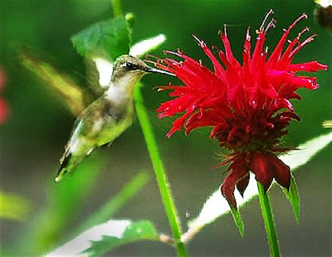 plants that attract hummingbirds humming birds