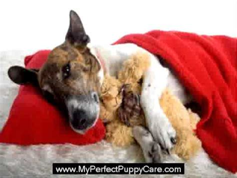 coccidiosis in puppies what is coccidia in puppys