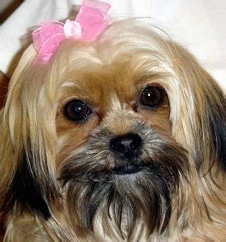 shih tzu or yorkie 24 pictures of shih tzu yorkie mix a k a shorkie and breed info animalso