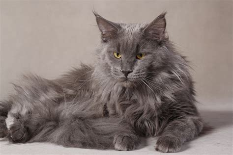 cat wallpaper grey grey serious maine coon cat wallpapers and images