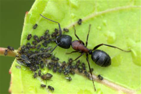 do ants eat aphids was essen ameisen wissenswertes 252 ber diese insekten