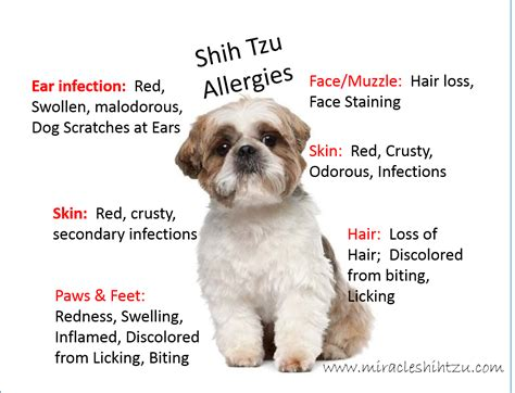 shih tzu diseases shih tzu allergies everything you must