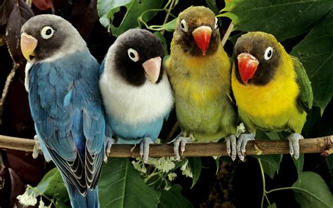 picture of love bird wallpaper hd wide birds pics litle pups lovebirds wallpapers hd wallpapers id 8554