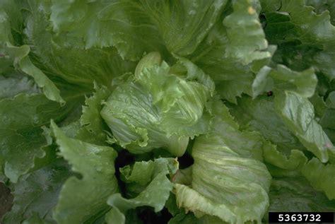 Lettuce General phytoplasma general phytoplasma on lettuce lactuca