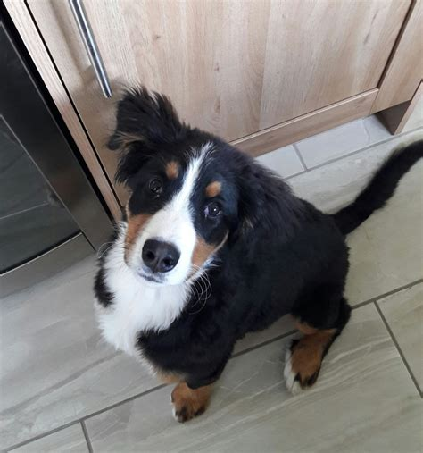 bernese mountain dogs for sale bernese mountain for sale ballymena county antrim pets4homes