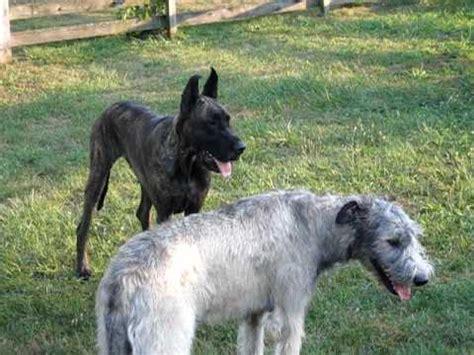 great dane vs. irish wolfhound youtube