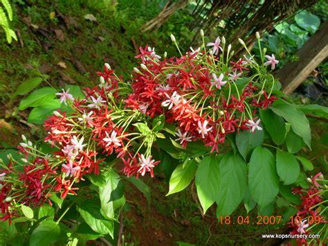 list of climbing plants rangoon creeper kop s nursery