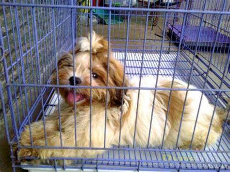 Cafortan Fortan Multivitamin dunia anjing jual anjing shih tzu shihtzu betina calon