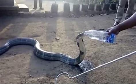 film ular kobra india lihat warga desa ini suguhi air ke ular kobra raksasa