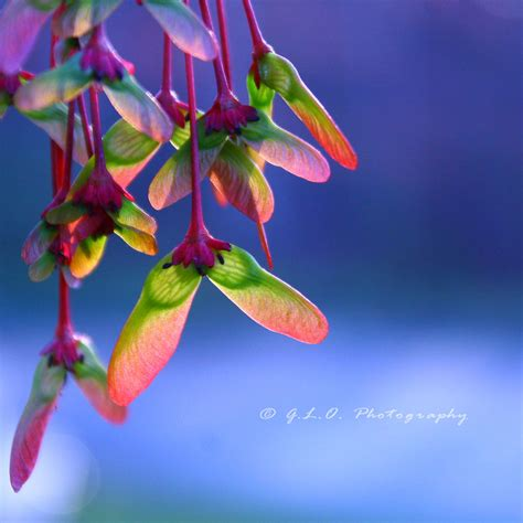 maple helicopters by moon willow on deviantart