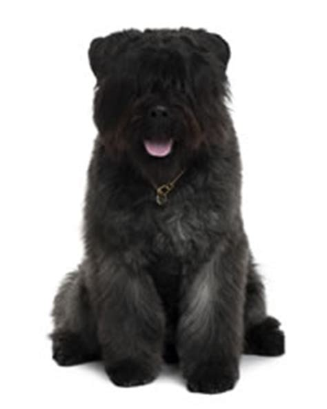 bouvier des flandres puppies needing a home bouvier des flandres history temperament care more dogs and