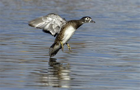 gander mountain thornton co pic of flying wood duck