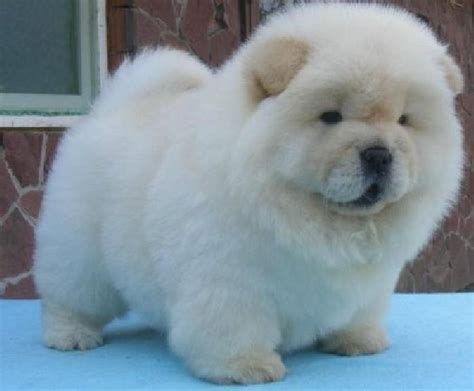 chow puppies chow chow puppies not a polar cub lol dogs