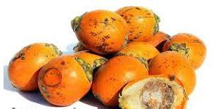 Obat Ejakulasidini Buah Pinang K khasiat dan manfaat buah pinang untuk kejantanan dan