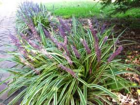 views from the garden short perennial ornamental grass varieties