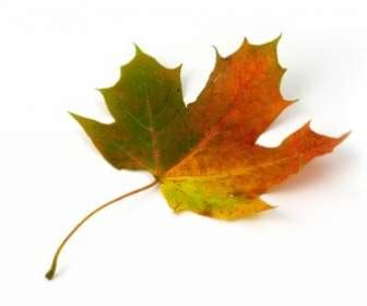 daun maple wallpaper daun maple merah dan hijau wallpaper latar belakang dari